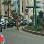 شي تك تك شي تيعا| في بيروت جمل يتنقل بين السيارات